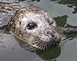 NEW HOME AND COMPANIONS FOR LONELY ONE-EYED SEAL BABYFACE