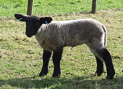 Bluebell, our Lamb - Photo was taken in February 2009