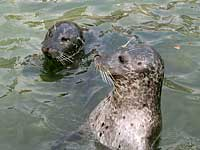 Flotsam and Jetsam our common seals - photo was taken on 28th September 2007