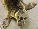 Hawk, a rescued grey seal pup from the 2011/12 season