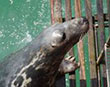 SEAL INJURED AT ST IVES DURING SUMMER IS ALIVE