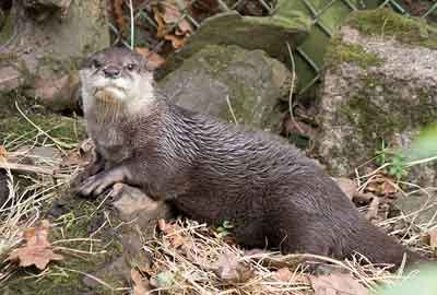 Apricot, Asian short-clawed Otter