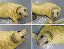 Aurora, a rescued grey seal pup from the 2013/14 season