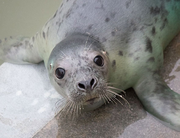 Backgammon, a rescued grey seal pup from the 2015/16 season