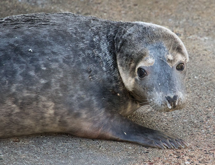Boggle, a rescued grey seal pup from the 2015/16 season