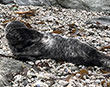 Seal pup recovering after ingesting a plastic bag