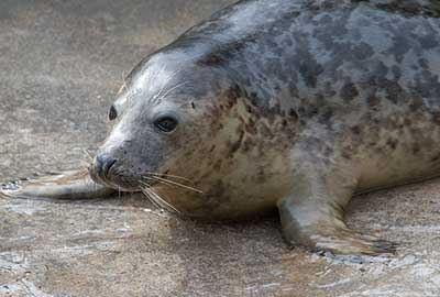Callisto, a rescued grey seal pup from the 2013/14 season