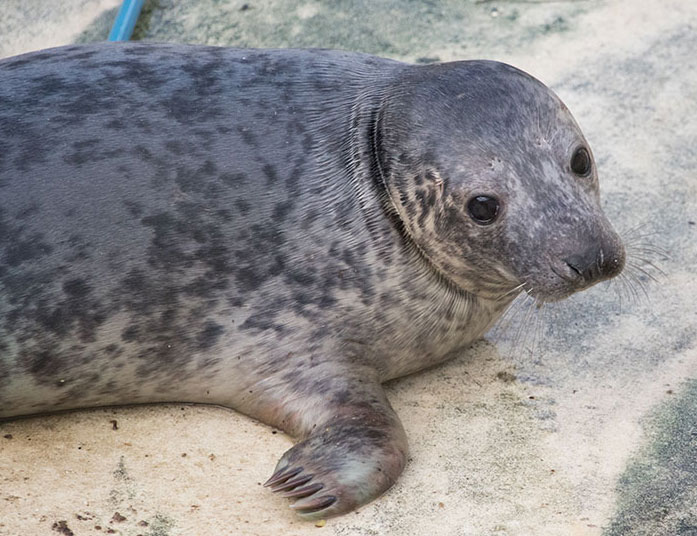 Checkers, a rescued grey seal pup from the 2015/16 season