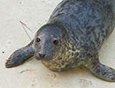 Daffy, a rescued grey seal pup from the 2014/15 season