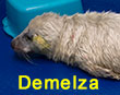 Demelza, a rescued grey seal pup from the 2017/18 season
