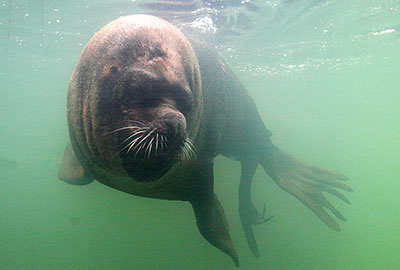 Patagonian Sea Lion, Carus