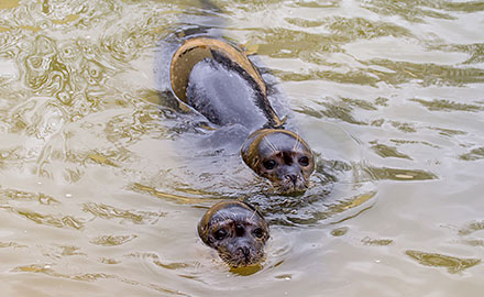 Common Seals - Bo and Buddy