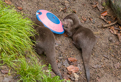 Asian Short-Claw Otters - Harris and Apricot