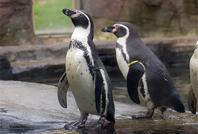 Humboldt Penguins - Ivy and Yoni