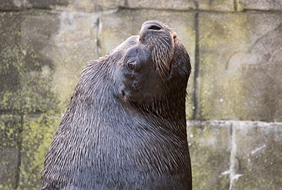 Diego, Patagonian Sea Lion