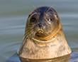 Tragic loss of Muddy the Ringed Seal