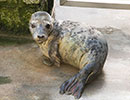 Halley, a rescued grey seal pup from the 2013/14 season