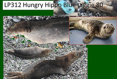 Hungry Hungry Hippo - Photo by Sue Sayer of the Cornwall Seal Group Research Trust
