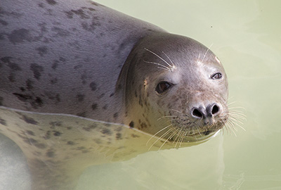Isis, a rescued grey seal pup from the 2013/14 season