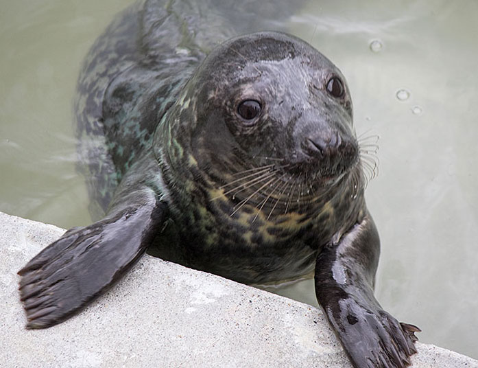 Jumanji a rescued grey seal pup from the 2015/16 season