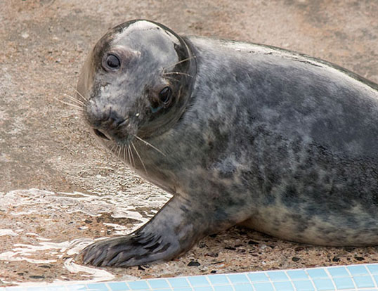 Labyrinth, a rescued grey seal pup from the 2015/16 season