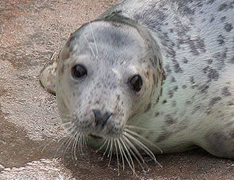 ludo, a rescued grey seal pup from the 2015/16 season