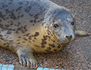 Moomin, a rescued grey seal pup from the 2014/15 season