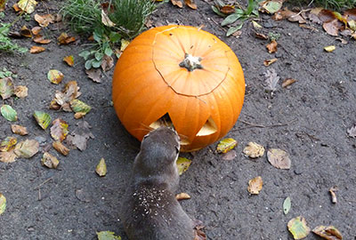 No treats this Halloween for Apricot the Otter!
