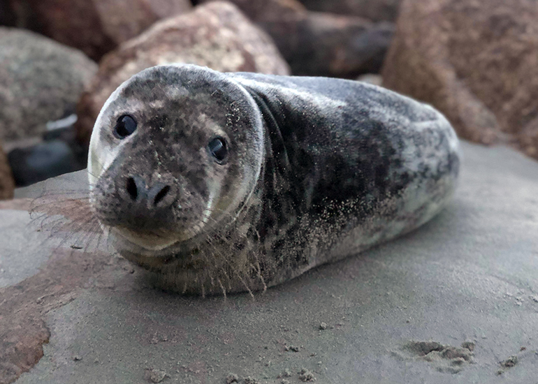 Pong - Photo credit - Ireland Seal Rescue Centre