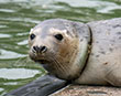 Cornish Seal Sanctuary first public seal pup release of the year