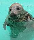 Rescued grey seal Stevie affected by the uncertainty around Brexit in race against time to get his pool finished in Belgium!