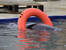 Pumpkin floating around on his lifebuoy in the grey seal pool - December 2015