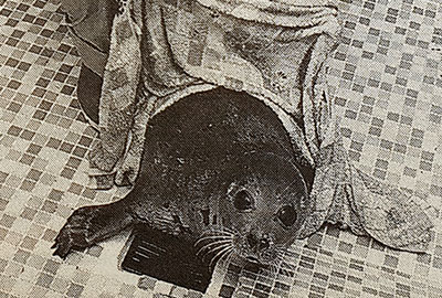 Purbeck the harp seal in the early 1990s