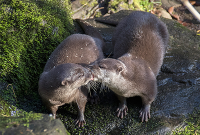 Harris and Apricot, Asian Short Claw Otters
