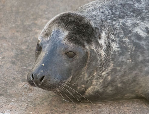 Rummy, a rescued grey seal pup from the 2015/16 season