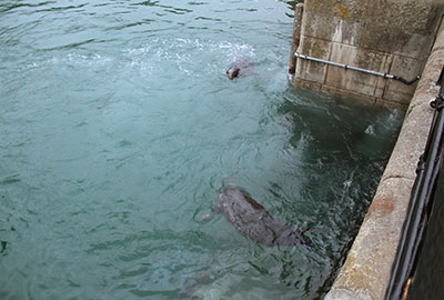 Seals in the harbour at Newquay