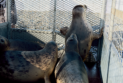 Seal Release - 13th June 2017