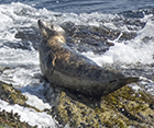 Seals in the Wild - St Ives Bay