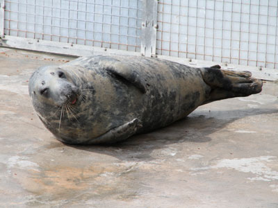 Snoopy, our resident grey seal - April 2012