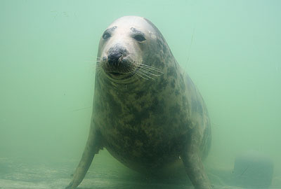 Snoopy, our resident grey seal in 2008