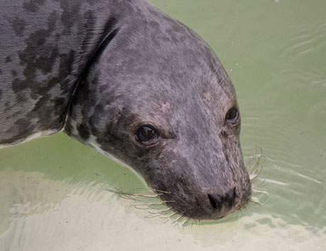 Tic Tac Toe, a rescued grey seal pup from the 2015/16 season