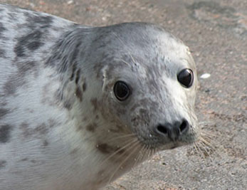 Uno, a rescued grey seal pup from the 2015/16 season