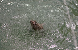 Singer, a rescued seal pup, playing with a water fountain