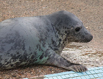 Whist, a rescued grey seal pup from the 2015/16 season
