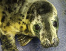 Mary King, a rescued grey seal pup from the 2011/12 season