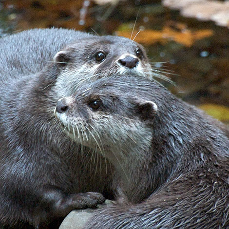 This photo of Starsky and Hutch, our Otters, was taken by Chris Pearce-Ramwell on 28th October 2009