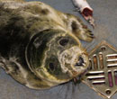 Zara Phillips, a rescued grey seal pup from the 2011/12 season