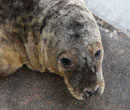Finn, a rescued grey seal pup from the 2011/12 season