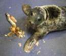 Florence, a rescued grey seal pup from the 2011/12 season