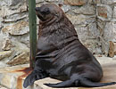 Andy - Fur Seal